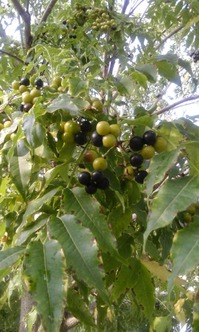 Кто подскажет, что это за дерево с ягодами? Бархат Амурский.