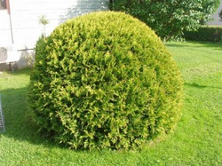 Туя шаровидная: выращивание и уход