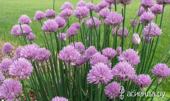 Шнитт-лук: размножение в сентябре