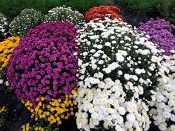 Осенняя пересадка хризантем