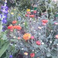 Хризантемы, начало цветения