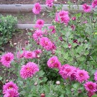 Расцвели в сентябре хризантемы в саду