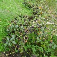 Изобилие черноплодной рябины