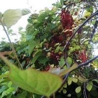 Мой дальневосточный уголок, или растения адаптогены.