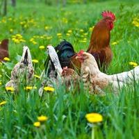 Чем и как кормить кур несушек