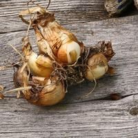 Луковицы нарциссов - как и когда выкапывать?