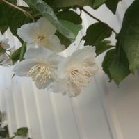 Добро пожаловать в гости, или цветущие кустарники в нашем саду.