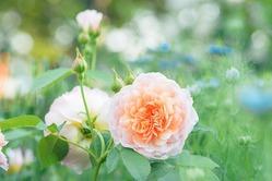 Розы: достойная свита для королевы сада