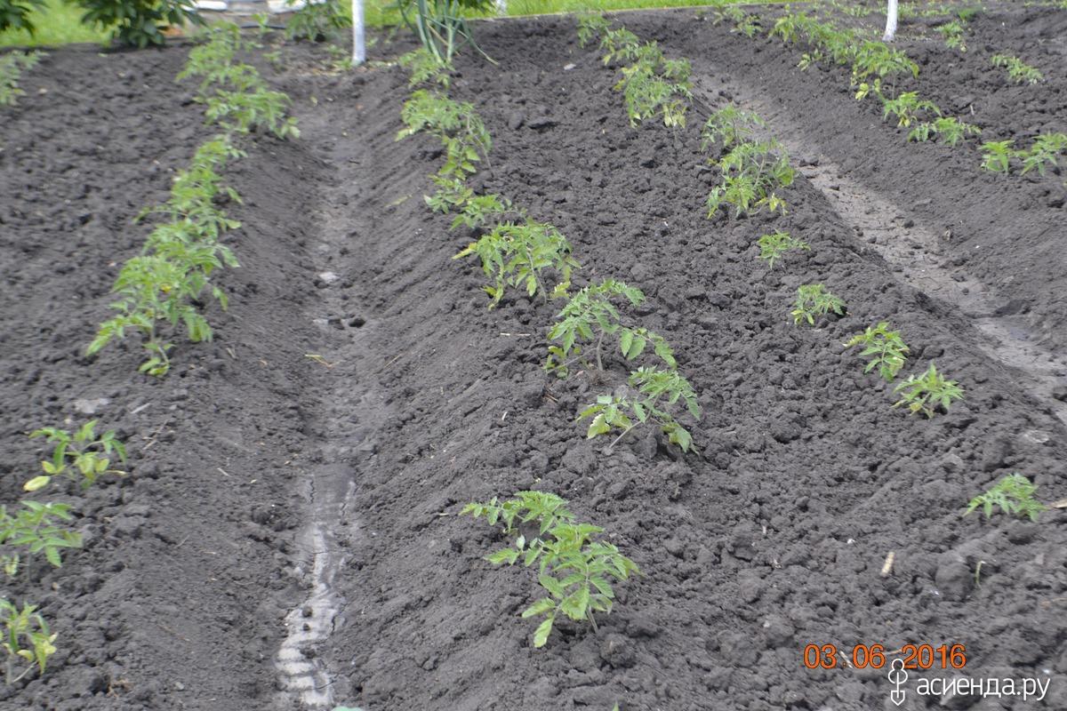 ресниц способ посадки томатов в грядках коробах фото всяком