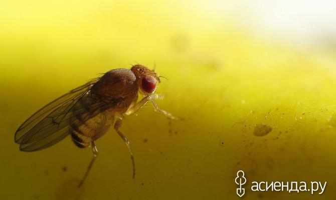 Натуральные средства избавления от плодовых мух