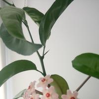 Хойя мясистая (Hoya carnosa) или восковой плющ - моя Хойя
