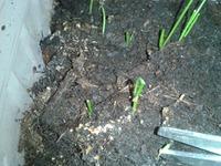 Как вырастить лук-порей рассадой