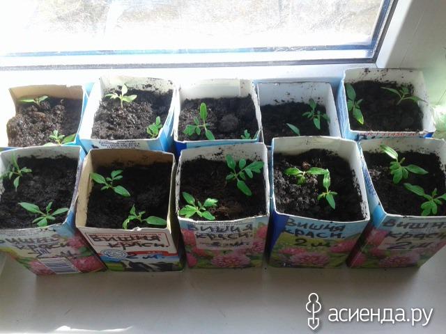 Выращивание детерминантных помидор - формирование и 91