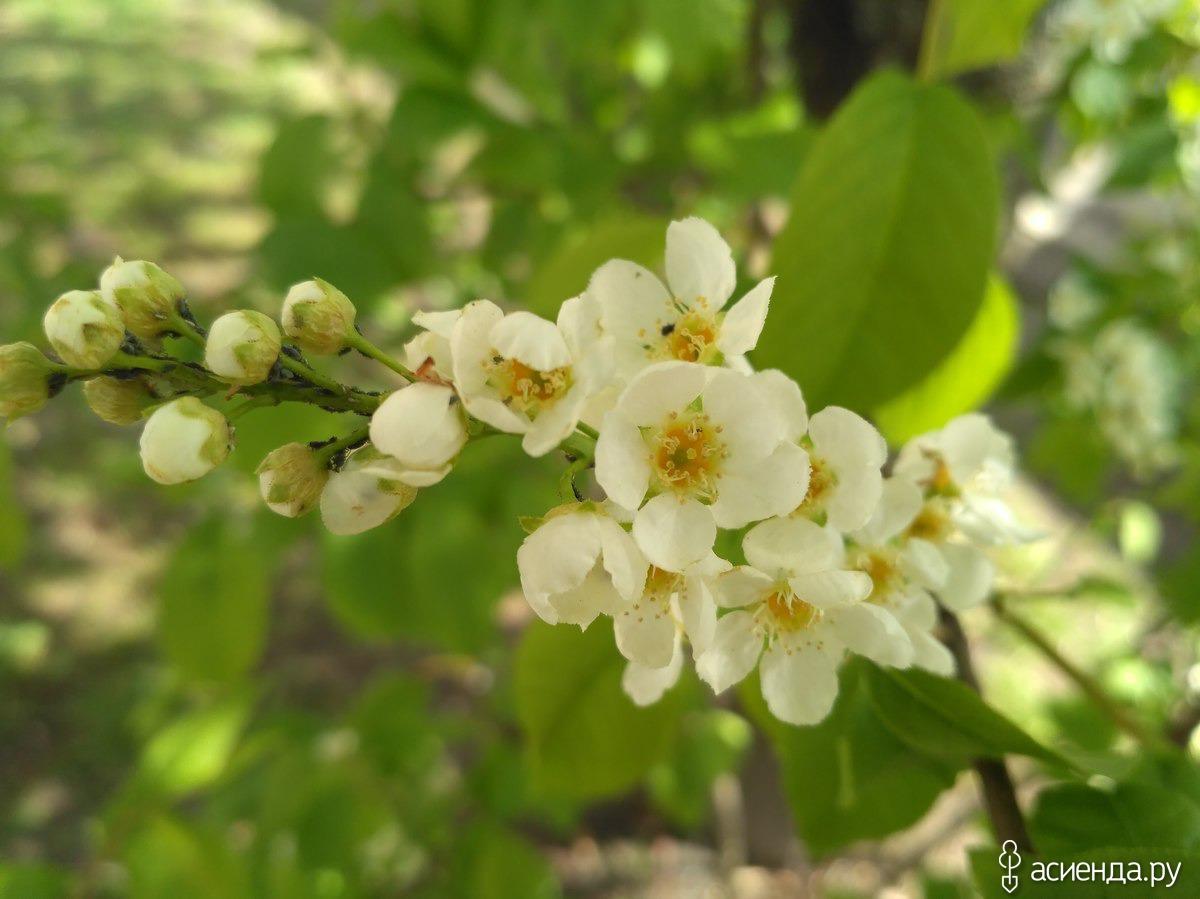Когда цвете белая черемуха