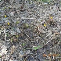 Очень ранние посадки зелени и корнеплодов в ОГ.