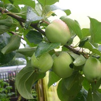 Яблони живы