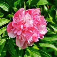 Многолетние цветы в апреле
