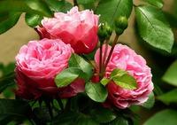Розы: уход за цветами в апреле