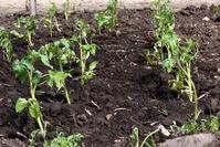 Томаты: выращивание и уход.