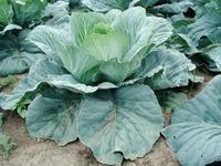 Болезни капусты: спасаем урожай