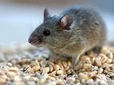 Мята против мышей в доме