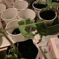 Погибает рассада помидор. Как помочь растениям?