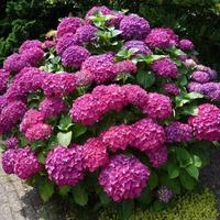 Как ухаживать за садовой гортензией?