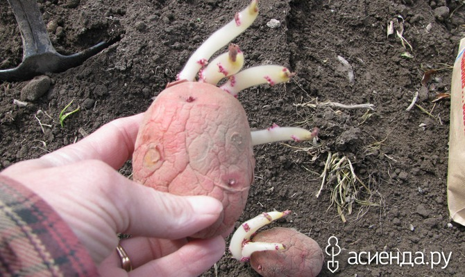 Необычные способы посадки картофеля