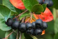 Арония черноплодная: и оздоровит, и сад украсит