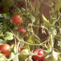 Неужели он наступил - помидорный рай! Собрала сегодня утром тазик помидорок - фото добавила.