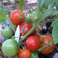 Моя маленькая радость- томат и помидор Бони ММ