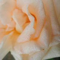Розы это не сложно. Мой опыт выращивания.
