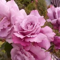 Розы ~ капризные красавицы