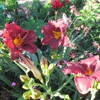 Лилейники в моём саду.