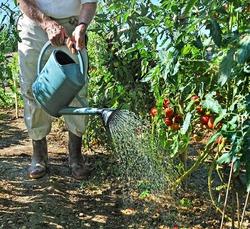 Уход за помидорами в августе