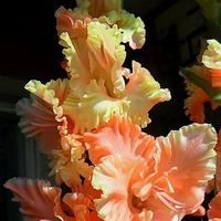 Начало цветения моих гладиолусов в горшках (13.08.2017)