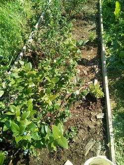 Как я выращиваю голубику и подружек