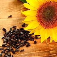 Вред и польза семян подсолнуха