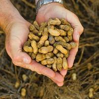 Выращивание арахиса