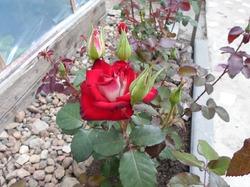 Какую розу купить?