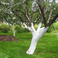 Зачем нужно белить стволы деревьев?