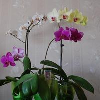 Немного об орхидеях