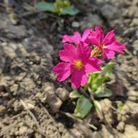 Примулы - весенняя радость для садовода. Часть 3, завершающая.