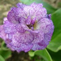 Примулы - весенняя радость для садовода. Часть 2.