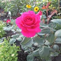 Моя весенняя и осенняя посадка роз.