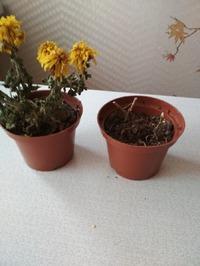 Отцвела хризантема в горшке подаренная на день рождения. А что с ней делать дальше???