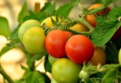 Уход за комнатными томатами