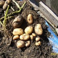 Картошка. Копать или не копать?