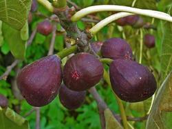 Съедобные плоды и таинства Фикуса