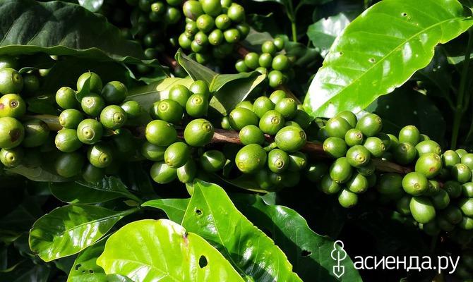 Кофе: выращивание в комнатных условиях